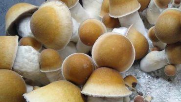 Penis Envy Mushrooms