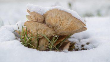 Psilocybin Mushroom Spores
