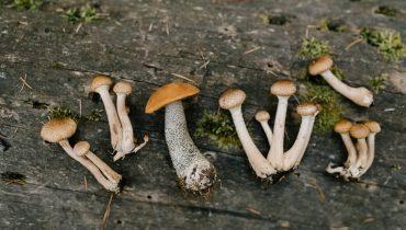 Psilocybin mushrooms what are they